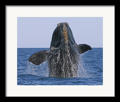 Right Whale Breach Framed Prints