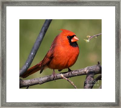 North Cardinal Framed Print by Ricky L Jones