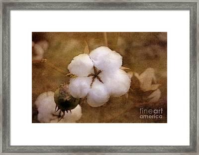 North Carolina Cotton Boll Framed Print