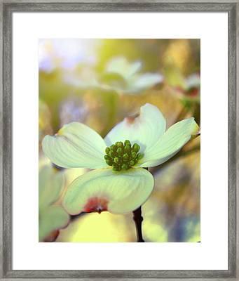 North Carolina Dogwood State Flower Framed Print by Gray  Artus