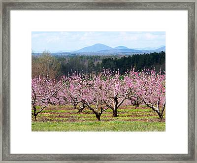 North Georgia Peach Trees In Bloom Framed Print by Judy Grindle Shook