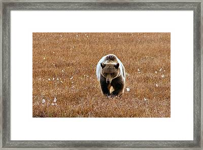 Framed Print featuring the photograph North Slope Grizzly by Adam Owen