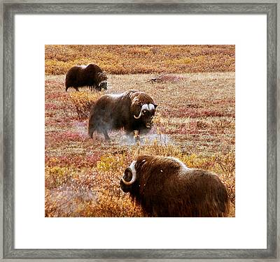 Framed Print featuring the photograph North Slope Musk Ox by Adam Owen