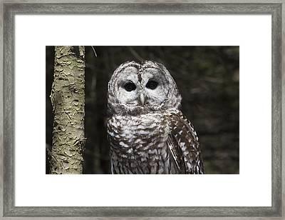 Northern Barred Owl Perched On Birch Framed Print by Lynn Stone