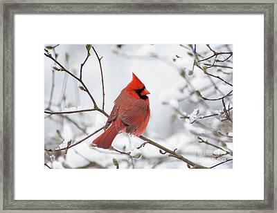 Northern Cardinal - D001540 Framed Print by Daniel Dempster
