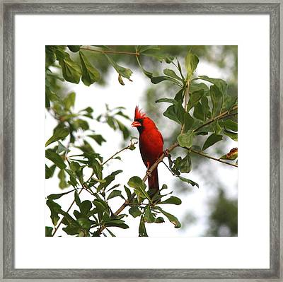 Northern Cardinal - In The Wind Framed Print