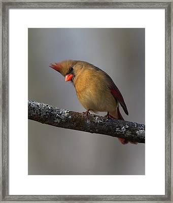 Northern Cardinal 4 Framed Print