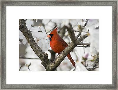 Northern Cardinal And Magnolia 2 - D009893 Framed Print by Daniel Dempster