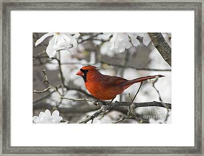 Northern Cardinal And Magnolia 3 - D009896 Framed Print