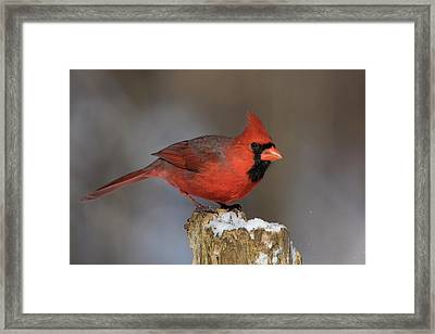 Framed Print featuring the photograph Northern Cardinal In Winter by Mircea Costina Photography