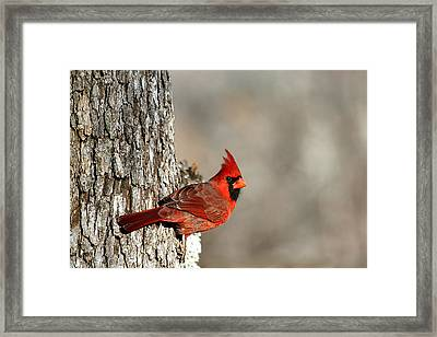 Northern Cardinal On Tree Framed Print
