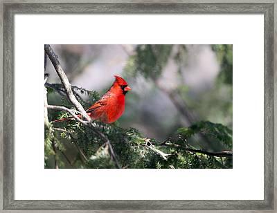 Northern Cardinal Red Framed Print