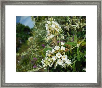 Northern Cloudywing Framed Print