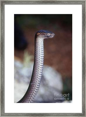Northern Dwarf Crowned Snake Framed Print by B. G. Thomson