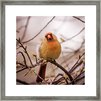 Framed Print featuring the photograph Northern Female Cardinal Pose by Terry DeLuco
