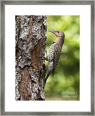 Northern Flicker On The Hunt Framed Print