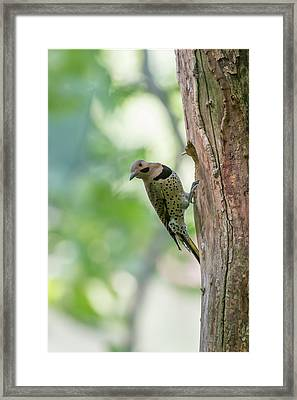 Northern Flicker Outside The Home Framed Print by Dan Friend