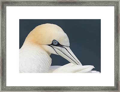 Northern Gannet At Troup Head - Scotland Framed Print