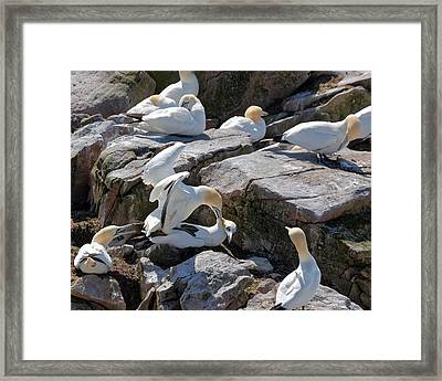 Northern Gannet Framed Print by Geoffrey Whiteway