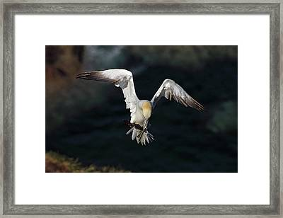 Northern Gannet In Flight 2 Framed Print