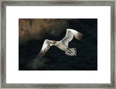 Framed Print featuring the photograph Northern Gannet In Flight by Grant Glendinning
