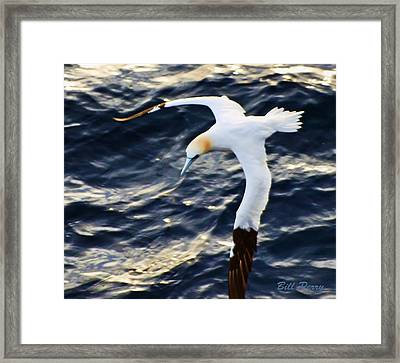 Northern Gannet Looking For A Meal Offshore Framed Print by Bill Perry