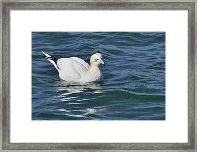 Framed Print featuring the photograph Northern Gannet Resting On The Water by Bradford Martin