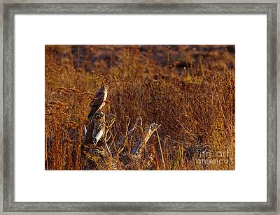 Framed Print featuring the photograph Northern Harrier At Sunset by Sharon Talson