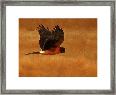 Northern Harrier Digital Art Framed Print