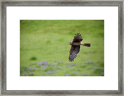 Northern Harrier Fly By Framed Print