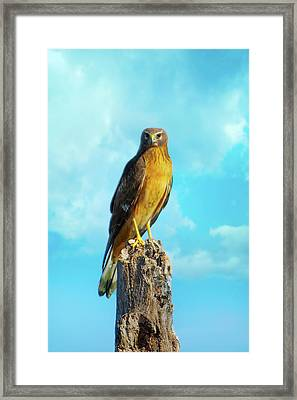 Northern Harrier Hawk Framed Print by Mark Andrew Thomas