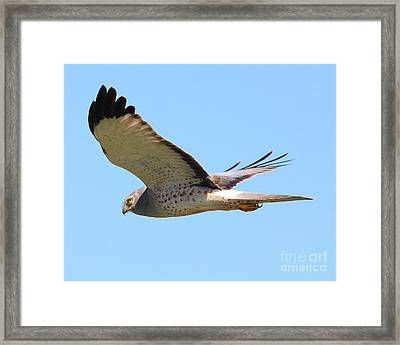 Northern Harrier In Flight Framed Print by Wingsdomain Art and Photography