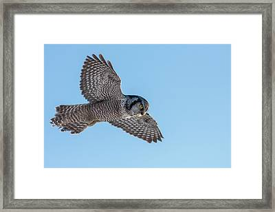 Framed Print featuring the photograph Northern Hawk Owl Hunting by Mircea Costina Photography