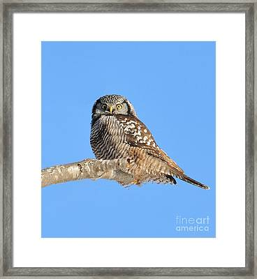 Northern Hawk-owl On Limb Framed Print by Debbie Stahre