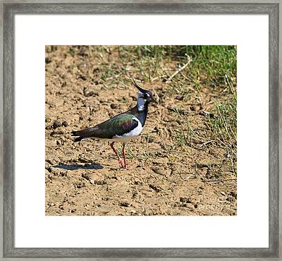 Northern Lapwing Framed Print