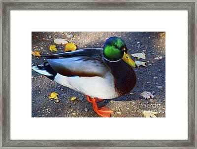 Northern Male Mallard Duck Framed Print