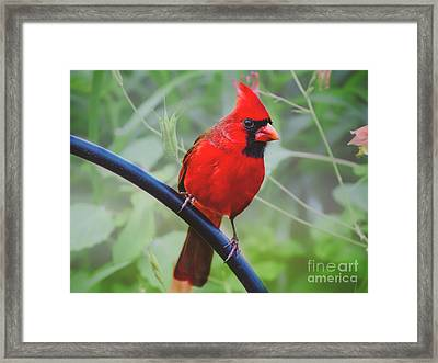 Northern Male Red Cardinal Bird Framed Print