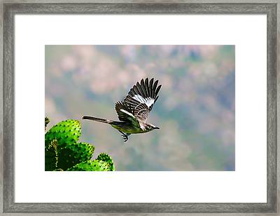 Northern Mockingbird Flying Framed Print
