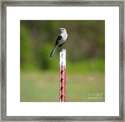 Framed Print featuring the photograph Northern Mockingbird Posing  by Ricky L Jones