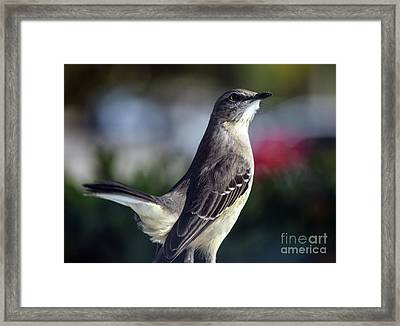 Northern Mockingbird Up Close Framed Print