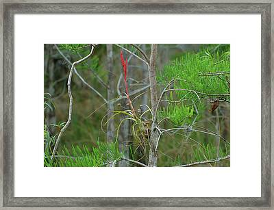 Northern Needleleaf Framed Print by Rich Leighton