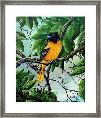Northern Oriole Framed Print by David G Paul