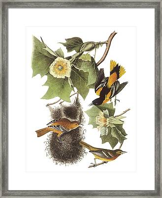 Northern Oriole Framed Print by John James Audubon