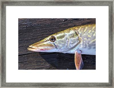 Northern Pike - Esox Lucius Set On A Wooden Deck Just Before Release Framed Print