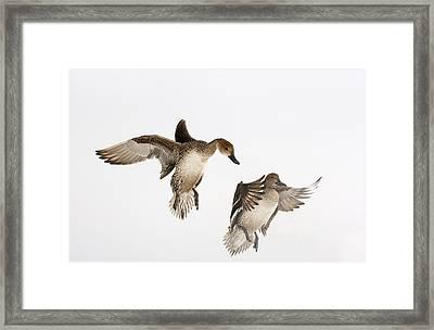Northern Pintail Anas Acuta Duck Framed Print by Wim Weenink