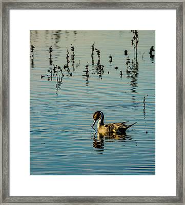 Northern Pintail At The Wetlands Framed Print