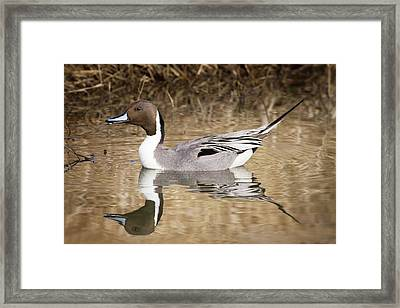 Northern Pintail Drake Framed Print