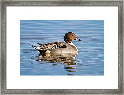 Northern Pintail Duck Framed Print