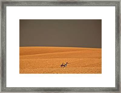 Northern Pintail Pair Out Walking In Saskatchewan Field Framed Print
