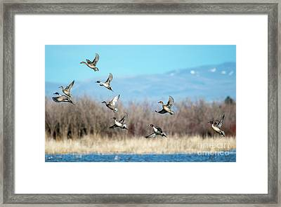 Northern Pintail Take-off Framed Print by Mike Dawson